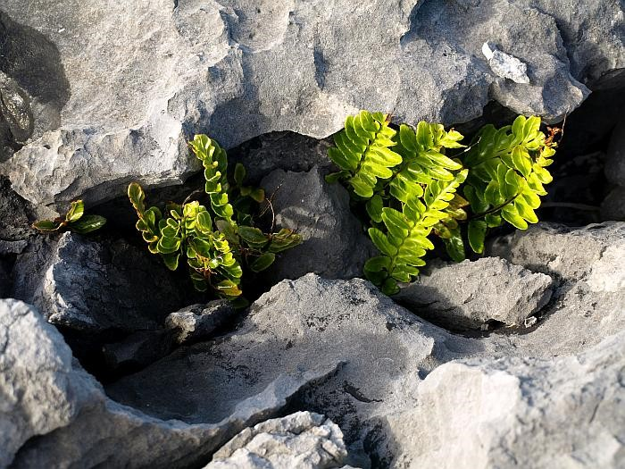The plants of the Burren